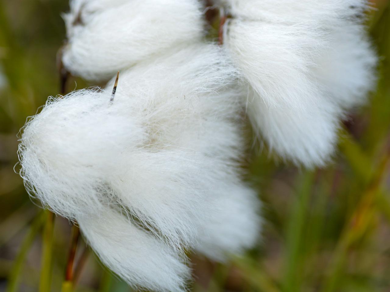 eriophorumangustifoliumen-cyperacea