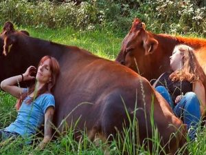 Cuddling with cows in nature
