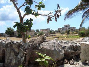 Iguana watching tourists in Tulum Mexico