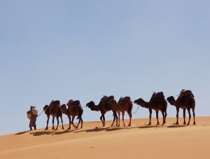 Importance of Camels traveling and trading