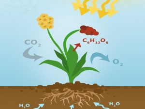 CO2 photosynthesis by plants