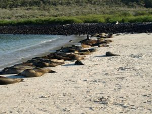 Sleeping sea lions on beach in Galapagos