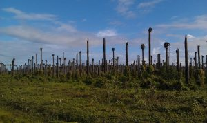 Palm oil plantage is not sustainable