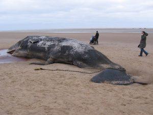 Dead sperm whale releasing CO2 on beach