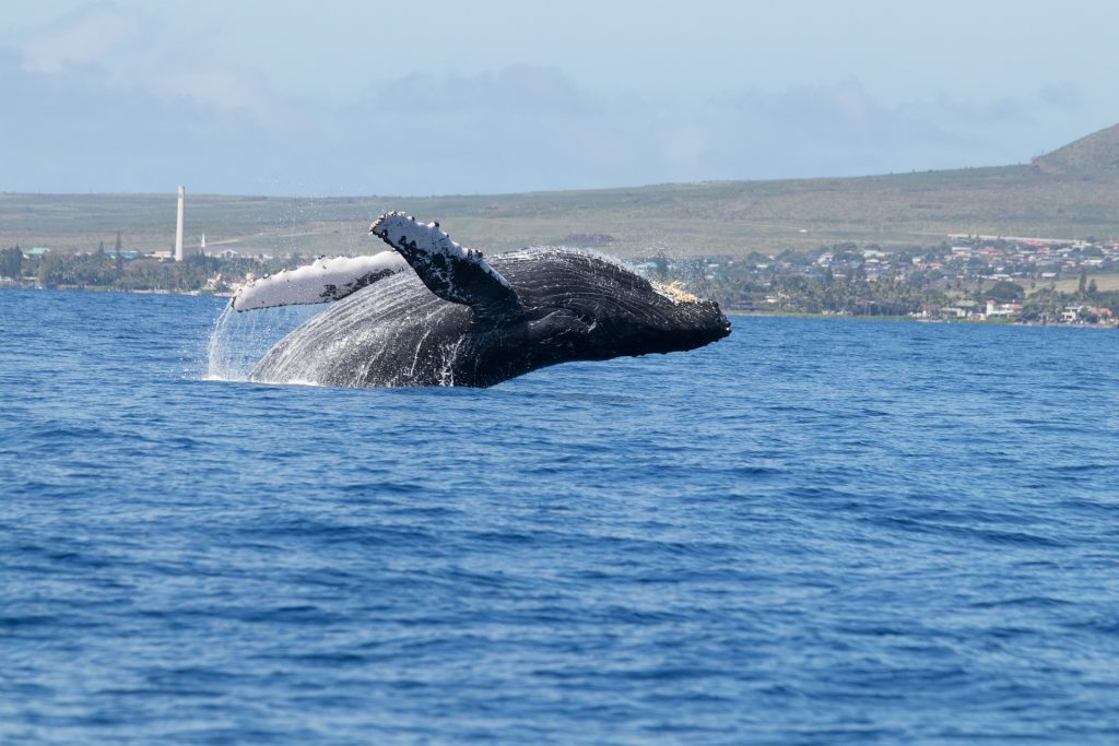 How whales absorb CO2