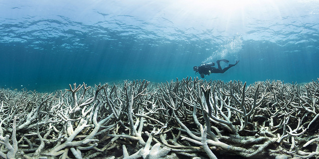 A close-up of coral bleaching with a diver in the background