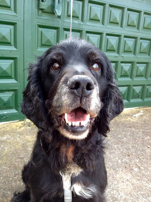 Read more about the article Rocko / Cockerspaniel