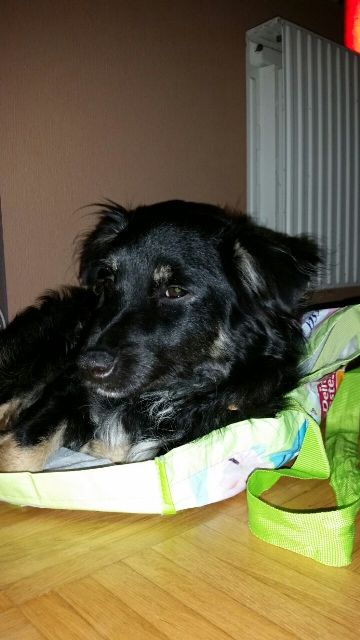 Read more about the article Nemo / Sheltie-Mix
