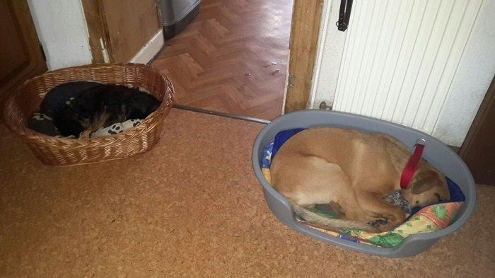 Fredy (jetzt Eddy) / Schäferhund- Boxer- Mischlingswelpen