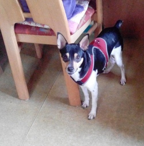 Read more about the article Thor / Pinscher-Mischling