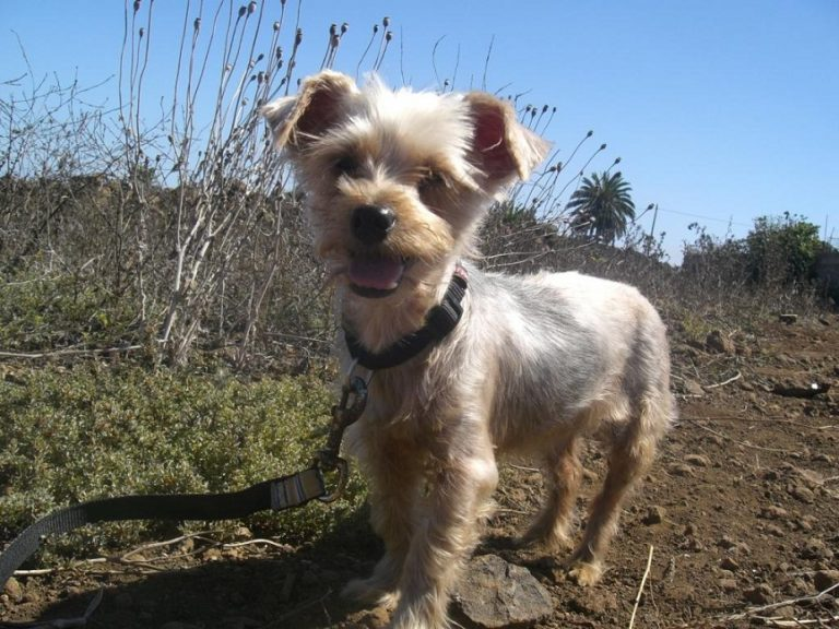 Read more about the article Tere / Mini-Yorki