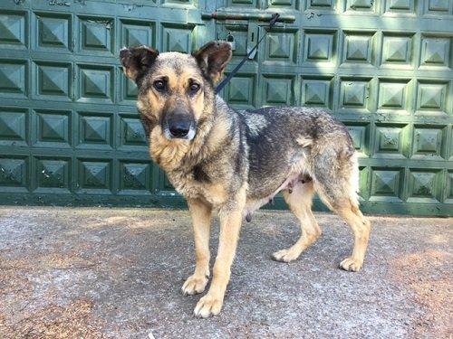 Tosca / Schäferhund