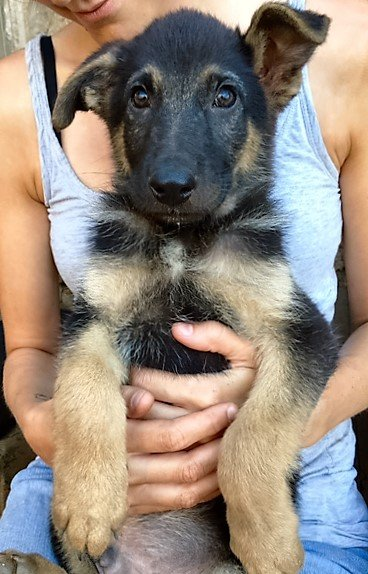 Read more about the article Tano / Schäferhund-Mix-Welpe