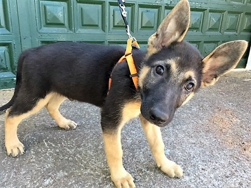 Read more about the article Teno / Schäferhund-Mix-Welpe