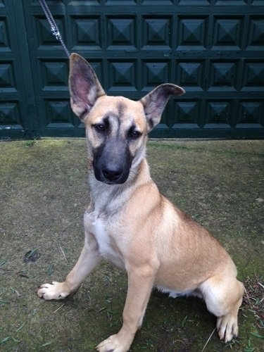 Read more about the article Faykan / Malinois-Mix