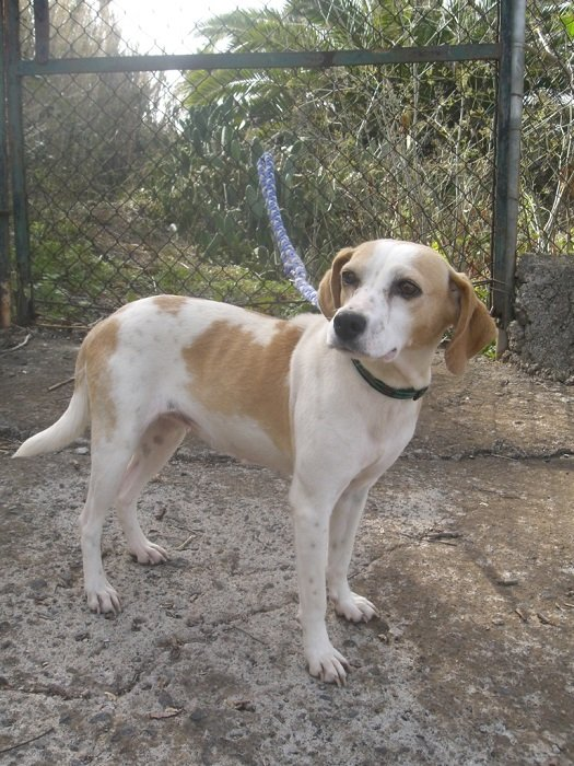 Read more about the article Ayla / Beagle-Mix
