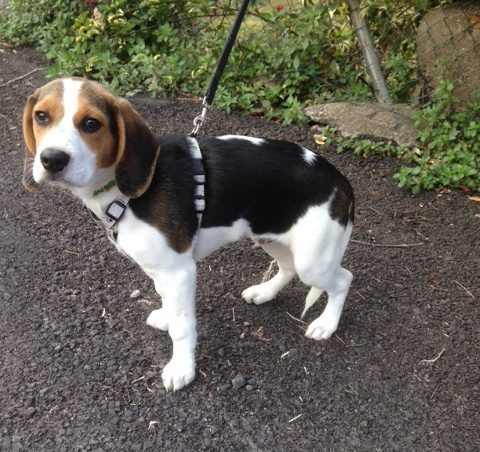 Read more about the article Tom / Beagle-Mischling