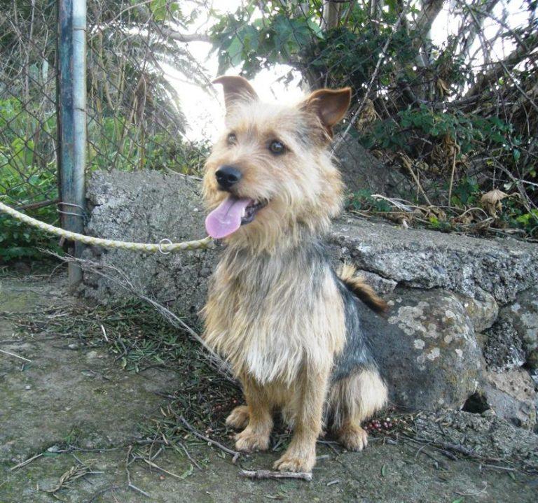 Valentin / Norfolk Terrier-Mix