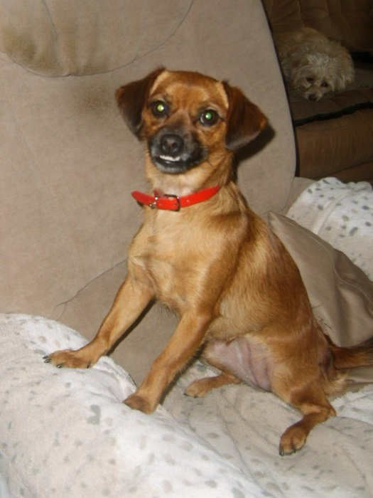 Read more about the article Kiki / Chihuahua-Mix