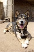 Read more about the article Virgil / Malamute-Mix