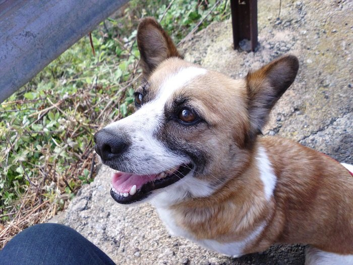 Read more about the article Kessy / Welsh Corgi