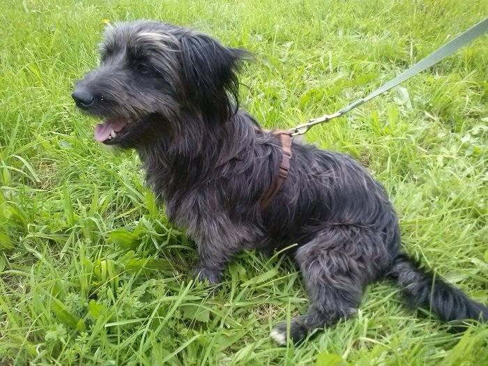 Read more about the article Bambino (jetzt Otto) / Terrier-Mix
