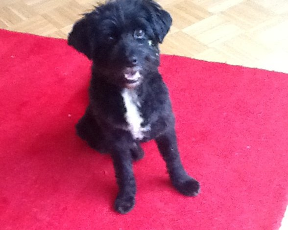 Botin / Tibet-Terrier Mix
