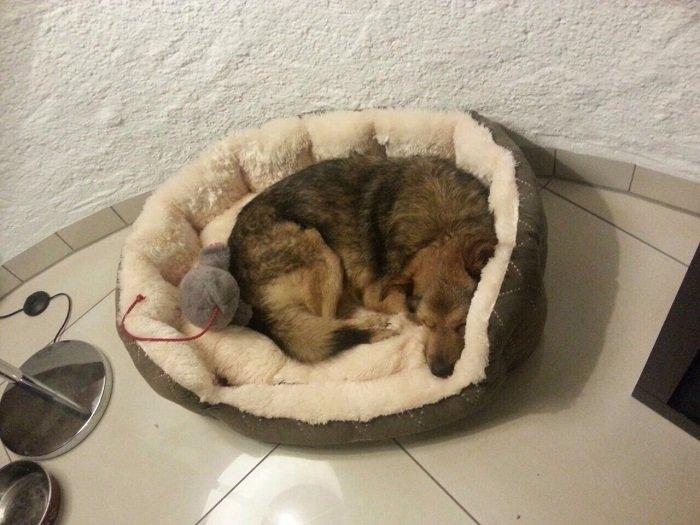Draco / Schäferhundmischling