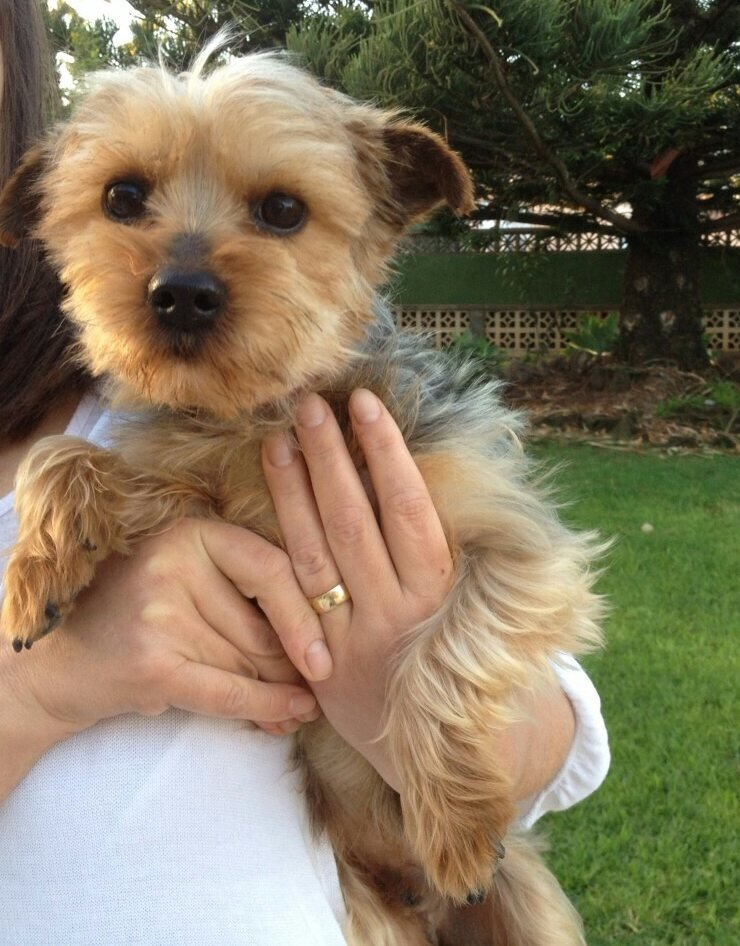 Read more about the article Bodo / Yorkshire Terrier