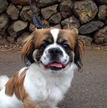 Read more about the article Junger Pekinese Berry