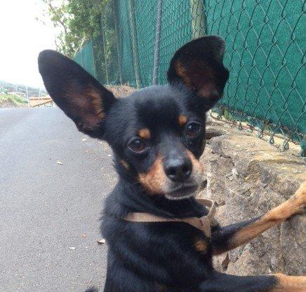 Toy Terrier Lin sucht Vertrauensperson