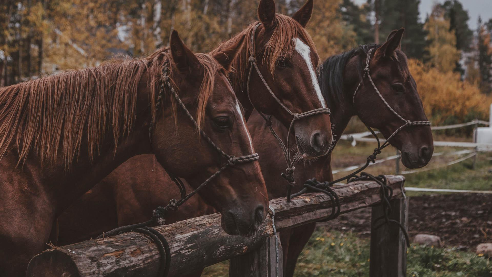 Unique westernhorses