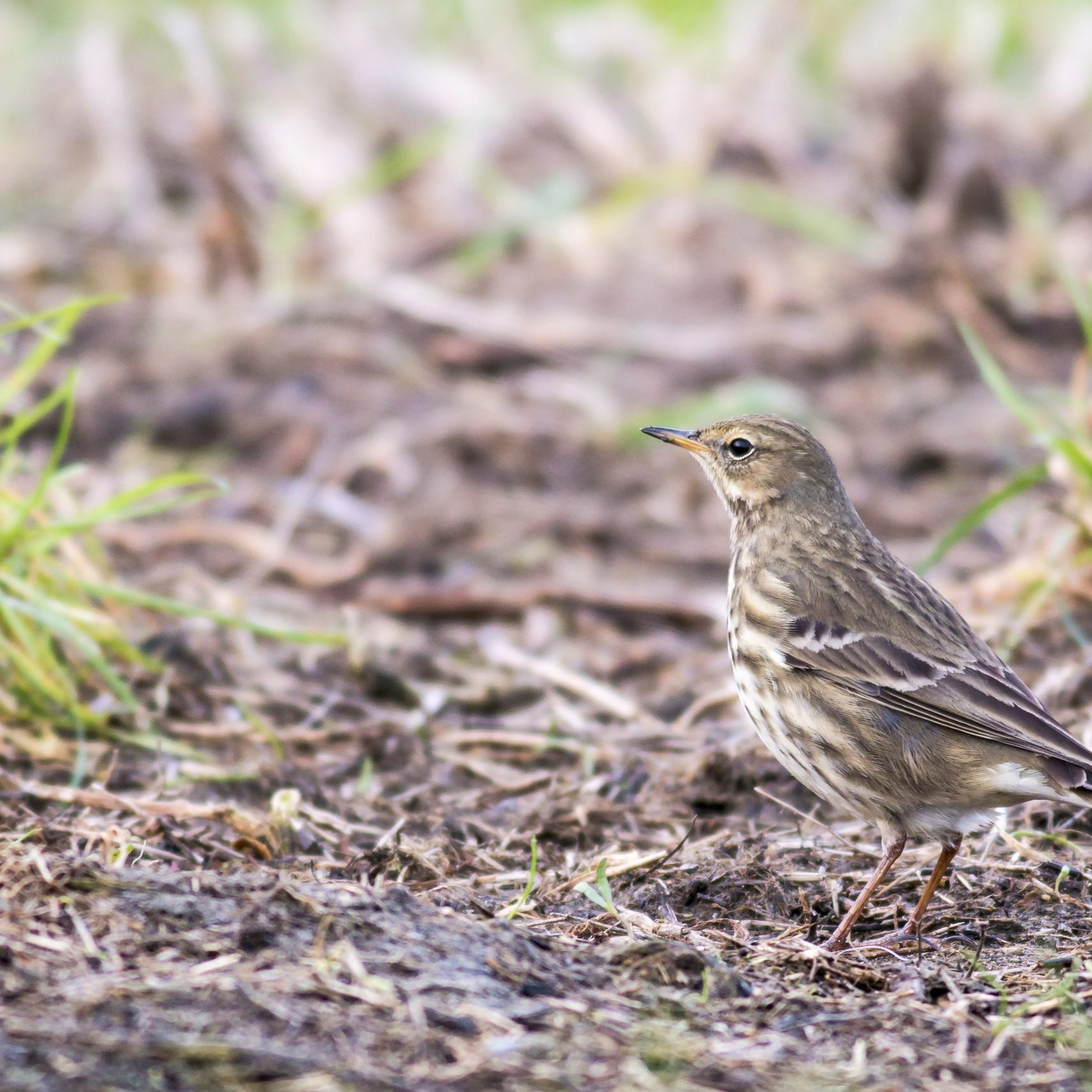 Pipits & Wagtails
