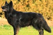A-tauriel Oudduitse herder