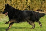 Oudduitse herder A-tauriel