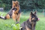 Duitse herdershonden die pauze nemen