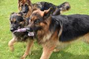 Duitse herdershonden met touw