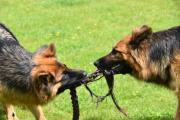 Langstokhaar herders spelen met touw