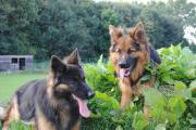 Spelende duitse herdershonden