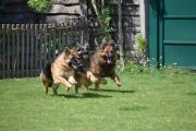 Spelende duitse langstokhaar herdershonden met balletje