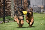 Spelende duitse herdershonden met voetbal