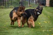 Spelende honden met balletje