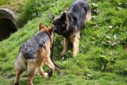 Spelende hondjes in de natuur
