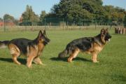 Spelende langstokhaar herdershonden gefocust