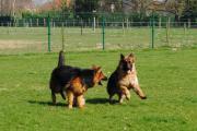Spelende langstokhaar honden