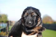 Bailey Vansantvliethoeve als pup