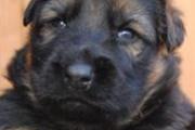 Bailey Vansantvliethoeve als puppy