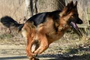 Herder Bailey aan het rennen