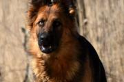 Oudduitse herdershond Bailey