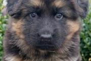 Elvis van de scholingshoeve als puppy van 5 weken oud